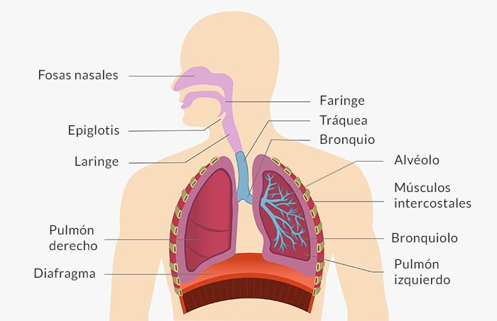 Partes del sistema respiratorio.